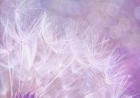 dandelion-923221_960_720